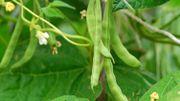 Pourquoi faut-il semer des haricots le 23 mai ?