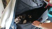 """10 chatons""""particulièrement maigres"""" étaient entassés dans une valise."""