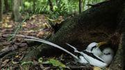 Oiseaux tropicaux à queue blanche sur Cousin
