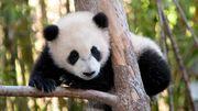 Le panda serait-il têtu et joueur? Oui... la preuve en vidéo!