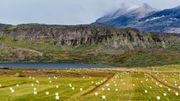 La paille, les pommes de terre, quelques légumes et surtout les innombrables moutons peuplent le sud du Groenland, la région agricole de l'île glacée.