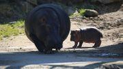 Naissance d'un bébé hippopotame à Pairi Daiza, une douce nouvelle