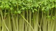 Le cresson: si bon pour la santé, si facile à cultiver, si simple à cuisiner