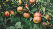 Des arbres fruitiers de chez nous seront disponibles dans diverses pépinières de la région
