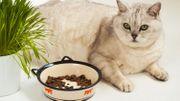 Les problèmes de surpoids chez nos chats: un fléau énorme