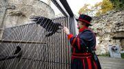 """God save the birds: avec le """"maître des corbeaux"""" de la Tour de Londres"""