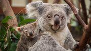 Carnet rose: un bébé koala à Planckendael