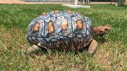 Une tortue sauvée grâce à une carapace imprimée en 3D