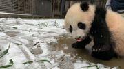 Vous allez fondre: les pandas du zoo de Washington s'amusent dans la neige