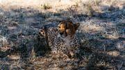 Le centre recueille des guépards orphelins et blessés mais se bat pour que l'espèce continue à vivre à l'état sauvage.