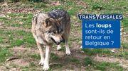 Retour du loup en Wallonie : les preuves s'accumulent