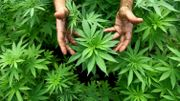 Découverte d'une plantation de 500 plants et 36 kilos de cannabis à Woluwe-Saint-Étienne