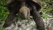 Tortue géante Aldabra