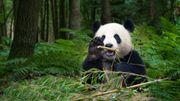 Protéger le panda n'aide pas toutes les espèces de son habitat
