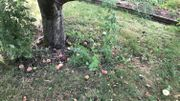 Beaucoup de fruits sont déjà tombés, une partie peut encore être valorisée.