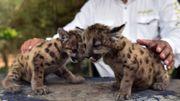 Pumas mexicains : deux naissances au zoo, espoirs pour la sauvegarde de l'espèce
