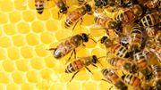 Les abeilles sont en danger. Que faire ?