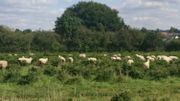 Le pâturage de moutons dans des cultures de sapins de Noël, une initiative inédite et écologique