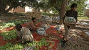 Les mangues sont mises dans des cageots, dans une ferme à Multan, au Pakistan.