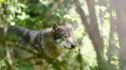 La ferme des loups de Trooz vous invite en famille à une balade gourmande et contée de la Louve