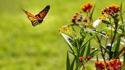 On sait enfin comment les papillons arrivent à voler