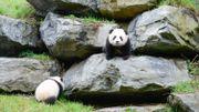 Première sortie des bébés panda de Paira Daiza