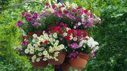 Sortez vos géraniums, plantez les annuelles, les saints de glace sont passés!
