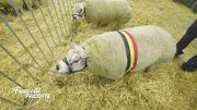 Immersion dans le concours national de beauté pour moutons au Salon de l'agriculture