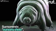 """Il est indestructible et ne craint pas les radiations cosmiques… Qu'est-ce qu'un """"ourson d'eau"""" ?"""