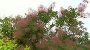 Zoom sur le Cotinus coggygria 'Flame' ou l'arbre à perruques