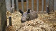 Moment historique: naissance d'un Rhinocéros blanc du Sud à Pairi Daiza