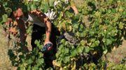 Vin de Liège cherche des vendangeurs bénévoles