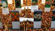 """""""Tromperie"""" au marché aux fleurs d'Amsterdam: les bulbes de tulipes ne fleurissent pas!"""