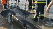Le requin pèlerin échoué à La Panne n'a pas survécu
