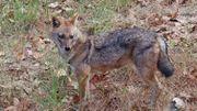 Un nouveau prédateur se rapproche de la Belgique: le chacal doré
