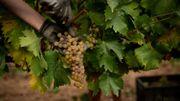 Sous pression du changement climatique, le vin espagnol tente de s'adapter