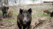 La Gaume sera-t-elle libérée du virus de la peste porcine africaine d'ici la fin de l'année ?