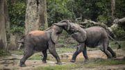 En raison de l'augmentation du braconnage, le nombre de grands mammifères en République centrafricaine a diminué de 94% en trente ans, selon un rapport Ecofaune 2018