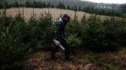 Que se passe-t-il derrière les rushs des sapins de Noël ?