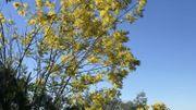 Le mimosa s'est vite épanoui sur le sol acide et sous le soleil de la Côte d'Azur