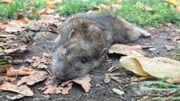 En novembre, les rats sont plus visibles à cause de la montée des eaux