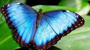 Non, ce papillon n'est pas bleu