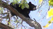 Un ours dans la ville: heurté par une voiture, il se réfugie dans un arbre à 20 mètres du sol