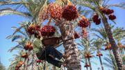 Le palmier-dattier, symbole des civilisations du monde arabe