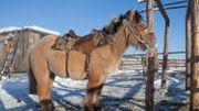 Un cheval iakoute de la même région, auquel le lenskaya ressemblait