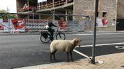 Le mouton dans une situation inconfortable semble assez stressé par l'agitation qui l'entoure