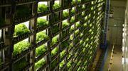 """Japon: les """"usines à légumes"""" en ville pour remplacer la campagne"""
