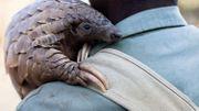 Le corps d'un pangolin mesure entre 30 et 80 centimètres. Celui d'un pangolin géant peut aller jusqu'à 1m50. les pangolins géants)