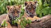 """""""Deux frères"""": Comment se passe un tournage avec des bébés tigres?"""