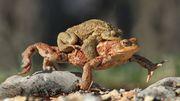 Les amphibiens se ruent vers les étangs